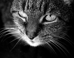 I know you (Torsten Reuschling) Tags: bw contrast cat 35mm canon eos eyes chat nb yeux occhi sw katze potrait kontrast gatto ritratto schwarzweis supershot eosrebelxs canon1000d