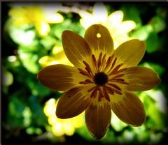 IMPERFECTION (EBONY~CAT) Tags: flowers yellow buttercup wildflower lumixpanasonicflowers