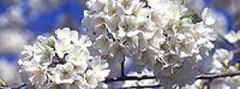 blossom_watch[1]