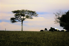 Tranqilidade (manuela hher) Tags: campo rvore cavalo pampa