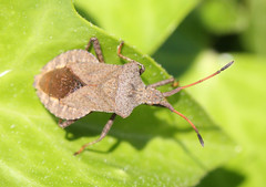 Syromastes rhombeus (iainrmacaulay) Tags: france bug shield coreidae rhombeus syromastes