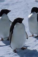 Manchot Adélie (Steff One) Tags: penguin antarctica polar southpole antarctic manchot ddu polaire antarctique polesud pev dumontdurville manchotempereur paulemilevictor terreadelie manchotadelie