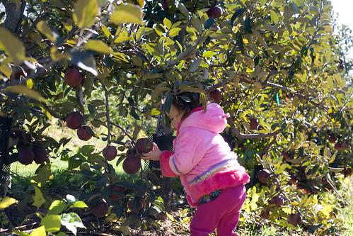Apple picking 015