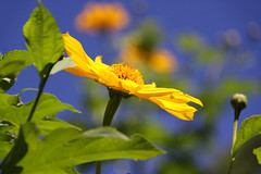 I Can See Clearly Now (Mona Hura) Tags: sun flower yellow giant big blossom mexican sunflower bloom tall perennial mexicansunflower 6636