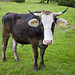 Milchkuh / Cow 5334.5