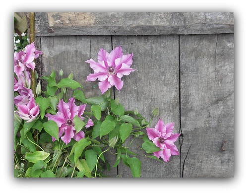 Clematis in a cottage garden