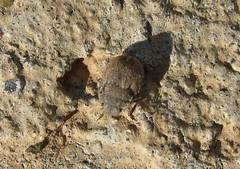 Odontoscelis sp (Costan E) Tags: sp hemiptera scutelleridae odontoscelis