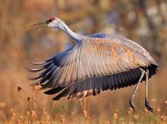 Fall Sandhill Crane! (JRIDLEY1) Tags: bird fall nikon michigan sandhillcrane naturesfinest specanimal brightonmichigan tnc09 jridley1 jimridley dailynaturetnc09 httpjimridleyzenfoliocom photocontesttnc10 lifetnc10 jimridleyphotography httpwwwjimridleyphotographycom photocontesttnc11 photocontesttnc12