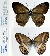 Splendeuptychia ambra