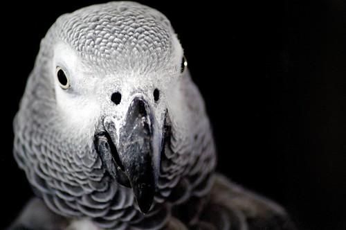 フリー画像| 動物写真| 鳥類| インコ科| 洋鵡/ヨウム|       フリー素材|