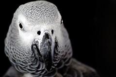 [フリー画像] [動物写真] [鳥類] [インコ科] [洋鵡/ヨウム]       [フリー素材]