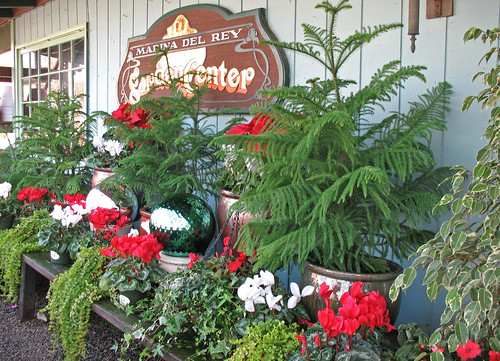 Star Pine trees add a beautiful green color and can be accented for the holidays with red and white Cyclamen.