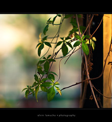 in the light of your love (alvin lamucho ) Tags: park light plant green nature wall fauna garden square 50mm dof post bokeh f14 middleeast vine dreamy kuwait f18 rebelt1i alvinlamucho