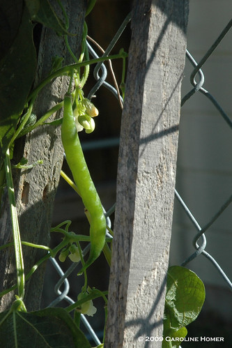 Green bean frozen on the vine