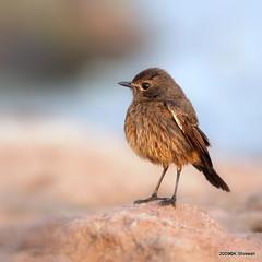 Pied Bushchat (Female) .. (K. Shreesh) Tags: india birds bravo pune naturesfinest 50d supershot kavdi specanimal eos50d abigfave anawesomeshot avianexcellence ef400f56l vosplusbellesphotos