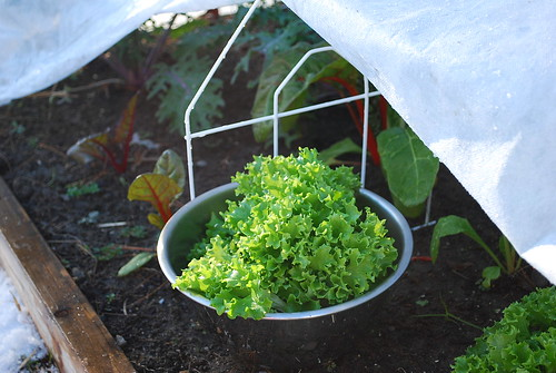 Harvesting winter lettuce