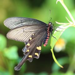 Spangle / Papilio protenor / () (TANAKA Juuyoh ()) Tags: macro high hires resolution 5d hi res  markii papilio spangle    gunmaken protenor       kiryushi canonef100mmf28lmacroisusm taxonomy:binomial=papilioprotenor
