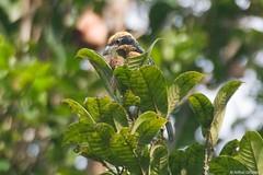 Capito brunneipectus - Brown-chested Barbet (arthurgrosset) Tags: fbwnewbird fbwadded capitobrunneipectus brownchestedbarbet cinnamonbreastedbarbet