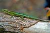 Phelsuma borbonica - south east (ach_gecko) Tags: ocean reunion indian vert lizard gecko chameleon phelsuma lezart borbonica inexpectata