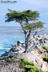 Lone Cypress Tree @ Pebble Beach (photografreak) Tags: california travel vacation usa beach nature geotagged photography bay photo monterey nikon marine pebble pebblebeach lone lonecypress cypress aquatic treecypresstree