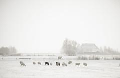 Winter in Friesland (Pleun*) Tags: winter white snow sheep sneeuw landschap schapen