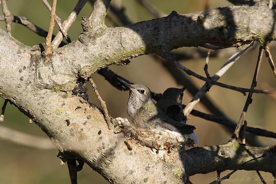 Anna's Hummingbird nest 09001-7