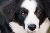 She's got the look (fotoham) Tags: blackandwhite dog puppy bordercollie pup tennisball indi sooc sigma70300mmf4056dgmacro nikond3000