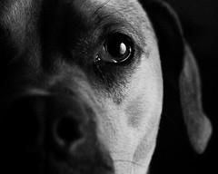 Waldo (J-Bones) Tags: saved portrait bw dog pet delete9 deleted7 deleted6 deleted3 deleted2 deleted4 deleted10 deleted5 deleted deleted8 waldo 20100120865201