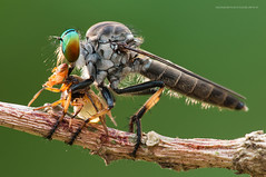 'sunset dinner' (nonoiphotography (post and run mode)) Tags: macro nature insect fly nikon singapore robberfly kirk d300 dcr250 raynox r1c1 sb200 diydiffuser 105vrmicro alexandrahospitalbutterflytrail macrolife macroflashbracket