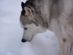 love (CRE8TIVE Mind) Tags: winter dog snow cold love friend husky seasons canine siberian huskie