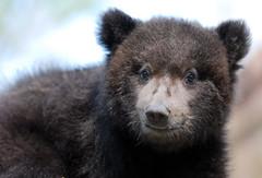 Brown bear (floridapfe) Tags: bear baby cute animal zoo nikon korea
