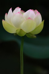 Lotus Part 15 /  -  (kth517) Tags: summer lotus australia yarrajunction   canon70200mmf4is canon40d bluelotuswatergarden victoriastate