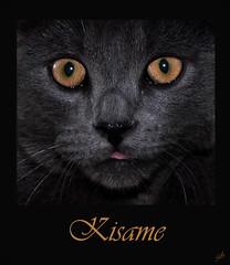 Kisame (Guylaine2007) Tags: eye animal cat chat yeux animaux domestique