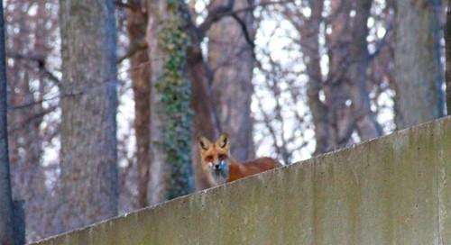 what a fox! 83/365