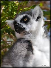 Lmur catta. (La Monjita 44) Tags: fauna bosque madagascar vegetacin diurno especie hbitat lmur especieamenazada