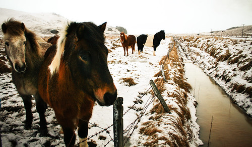 Icelandic Horses, Winter