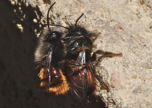 Mason bees (Osmia cornuta) 1