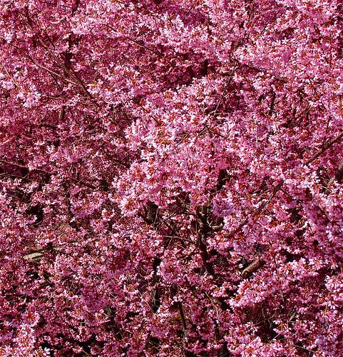 Blossoms (Dia)