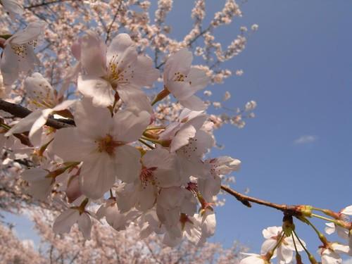 <桜>当麻寺横の公園-04