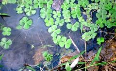 Laos 1 405.Treboles de 4 hojas (joseluisgildela) Tags: laos treboles