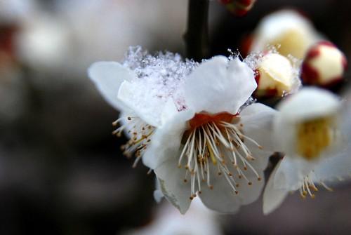 ice-sakura