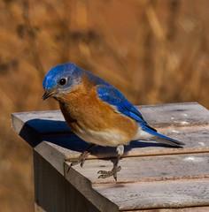 Eastern Bluebird (Lindell Dillon) Tags: oklahoma nature birds bluebird easternbluebird oklahomanaturepics lindelldillon bluebirddiary