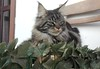 Maine coon cat on the chair (romeosilverpersian) Tags: mainecoon coonie cat cats chair pet pets animalidomestici gatto gatti