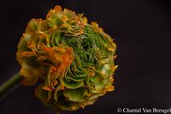 Ranonkel (Chantal van Breugel) Tags: bloemen macro ranonkel pompon canon5dmark111 canon100mm