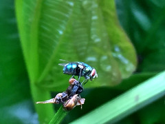 Same Fly with another angle 😅 (2/2) - 19022017 (widisoetardjo61) Tags: flies fly insect insects serangga laler lalet lalat