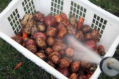 washing root veggies