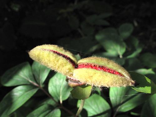 peony seedpod