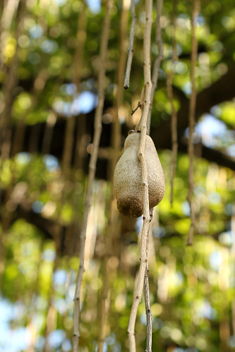 Hanging Potato Tree