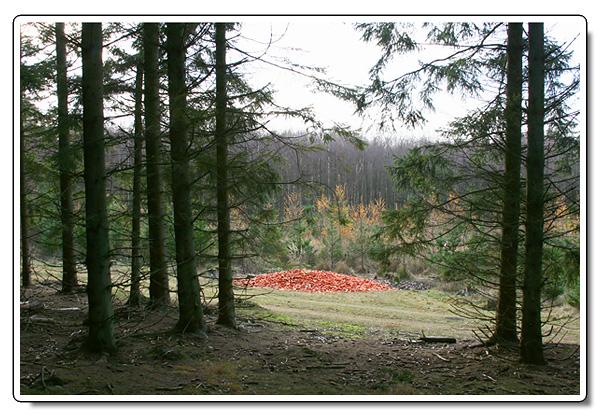 Morötter i skogen