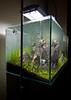 90x45x45cm - Day 7 (Stu Worrall Photography) Tags: red nature cherry aquarium ada tank counter drop bubble hc checker planted chrimp dazs braceless tennelus hairgrass optiwhite ukaps ukapsorg fiush 90x45x45cm
